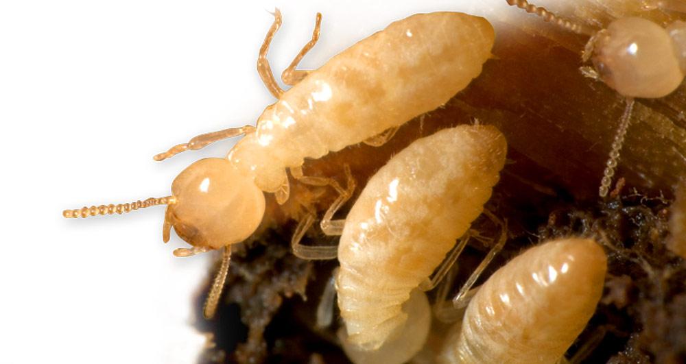termite-image